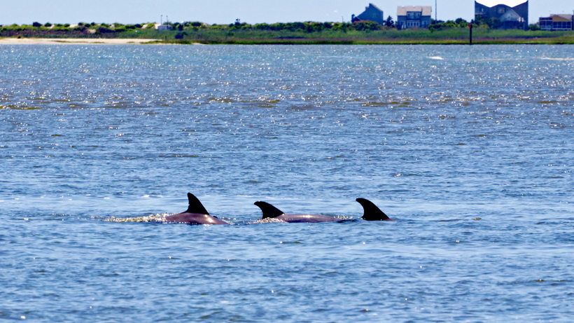 Dolphins in the river.