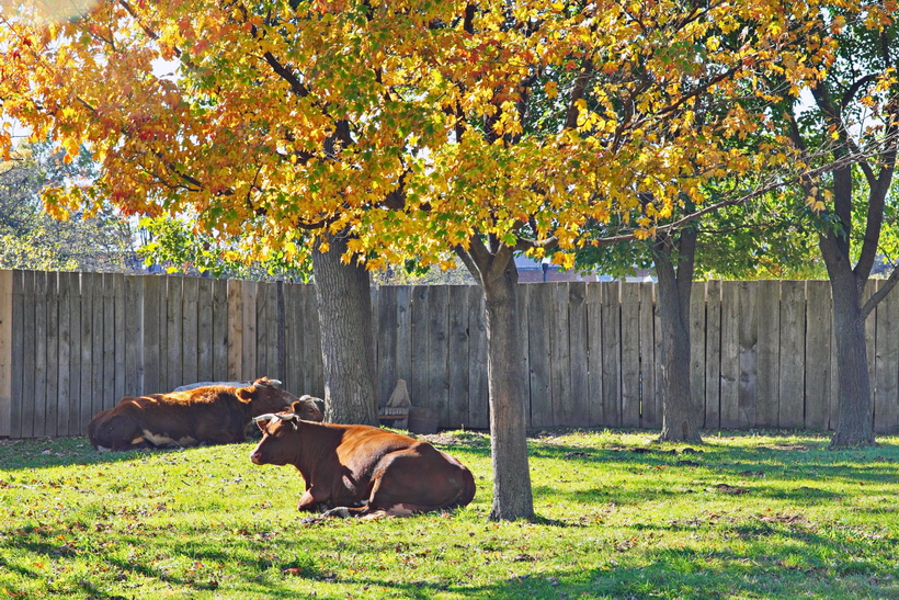 Greenfield Village Cows.