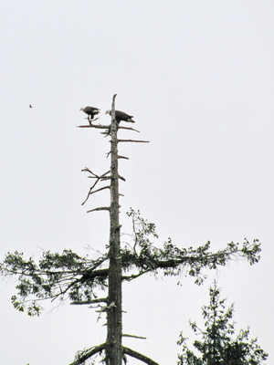 Poor shot of eagles next above my head that I wasn't seeing.