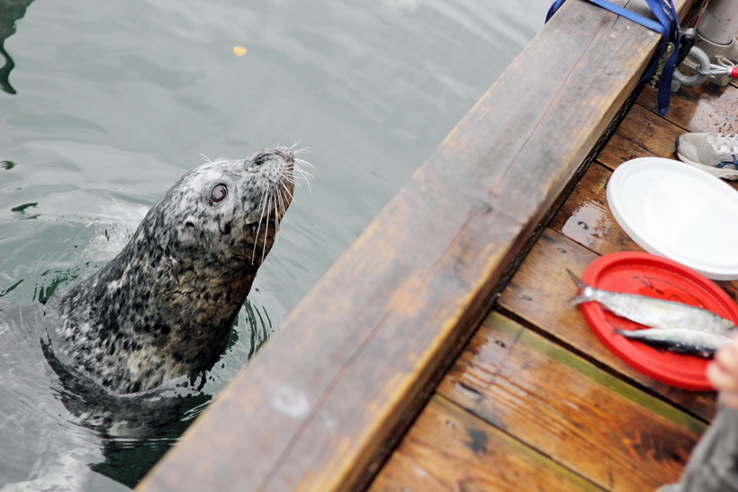 One of a couple of seals entertaining us at Victoria Harbour and trying to get people to feed them fish.